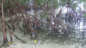 mangroves pr