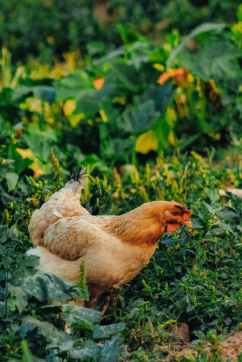 brown hen on green grass